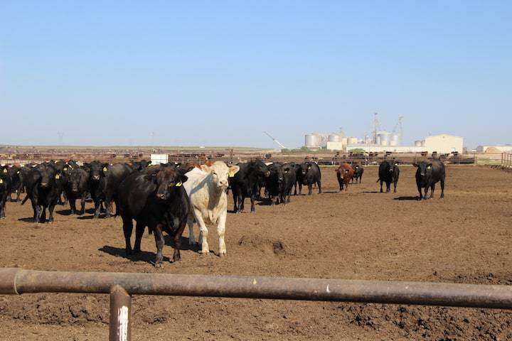 Where does food come from? Cattle feed lot