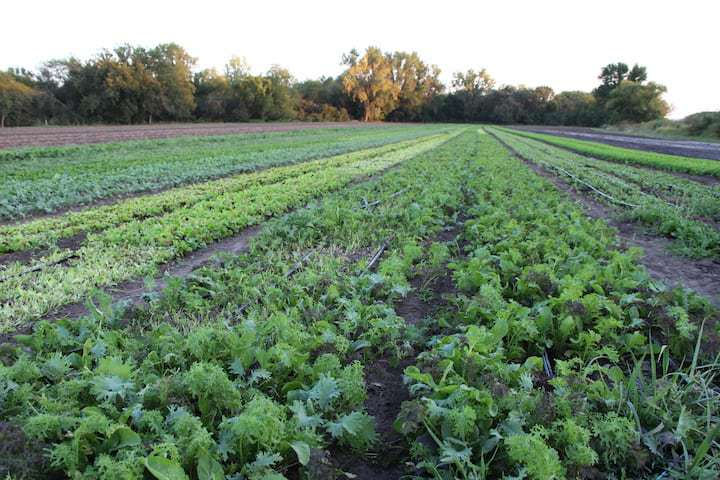Where does food come from? Growing lettuce leaves on Kansas farm